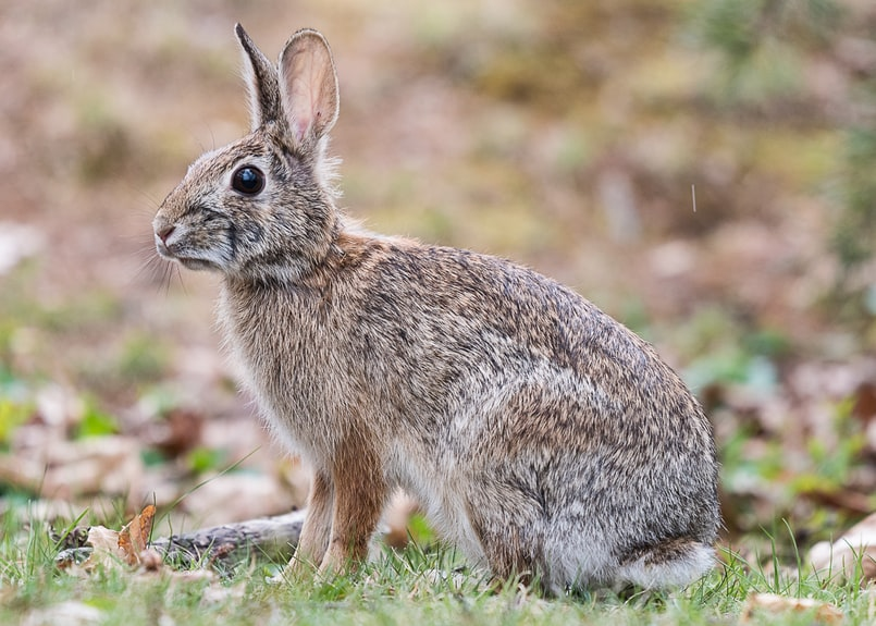 eastern cottontail columbia county oregon