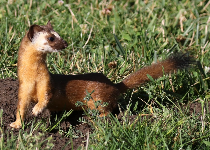 long-tailed weasel columbia county oregon