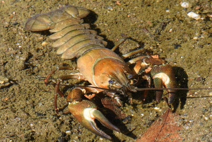 Signal Crayfish oregon columbia county