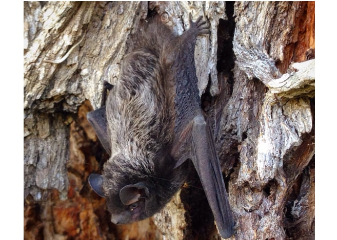 silver-haired bat columbia county oregon