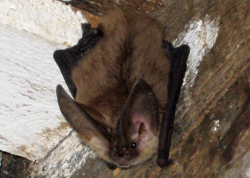 townsend's big-eared bat columbia county oregon