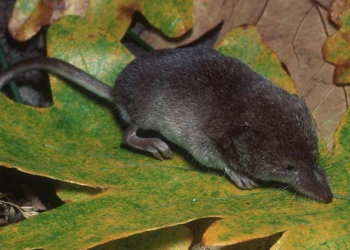 vagrant shrew oregon columbia county