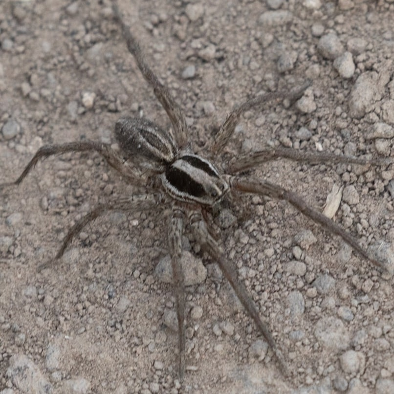 wolf spider oregon columbia county