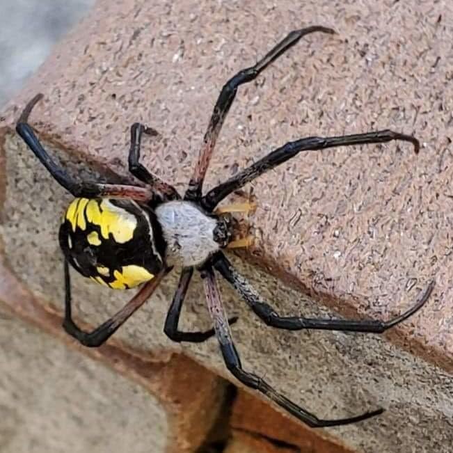 Yellow Garden Spider columbia county oregon