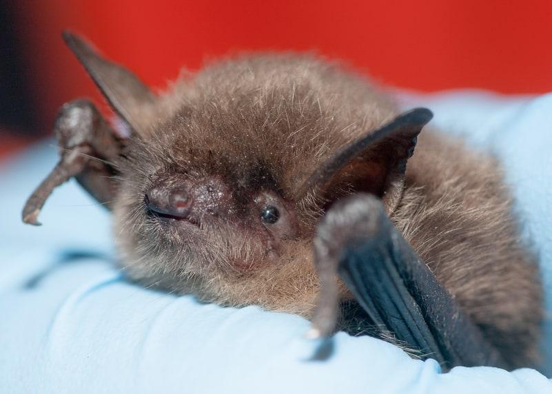 yuma myotis bat columbia county oregon
