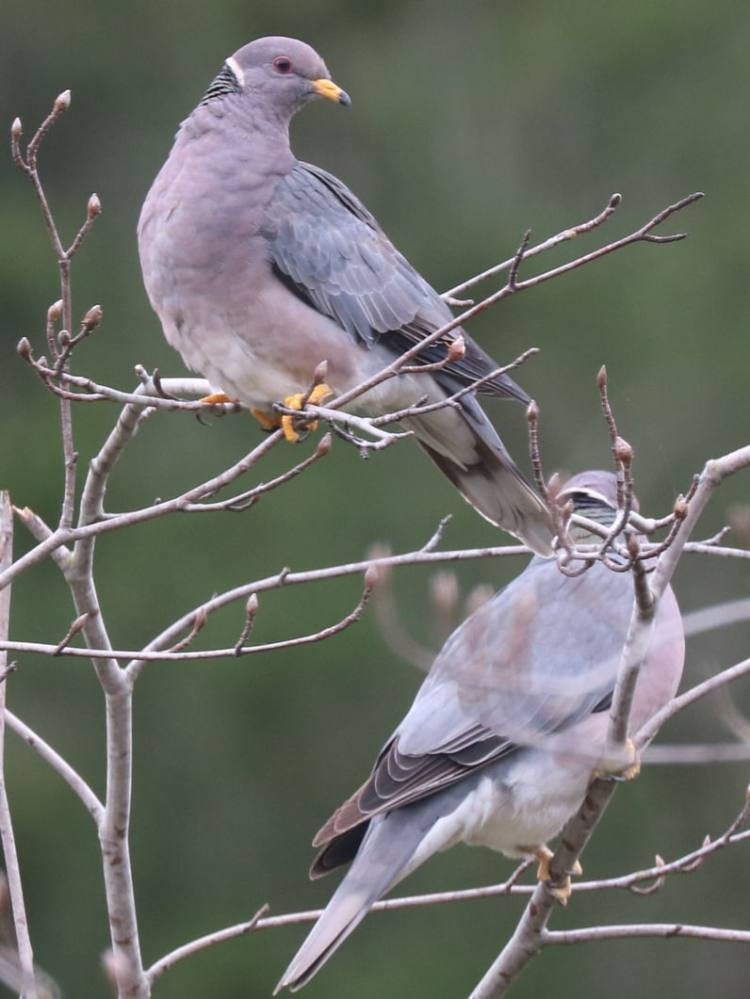 doves and pigeons of northwest oregon columbia county band-tailed pigeon