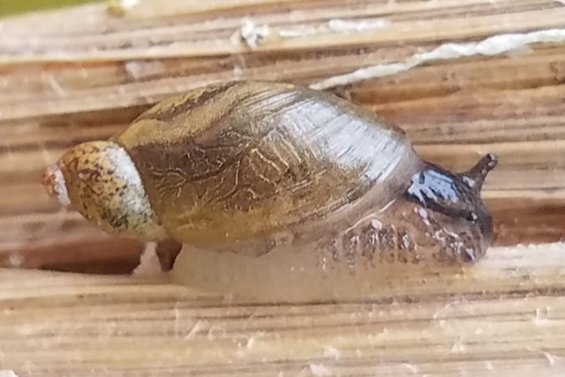oblique ambershell Amber Snail oregon columbia county