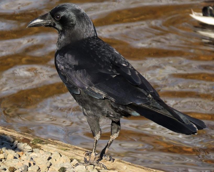 american crow oregon columbia county