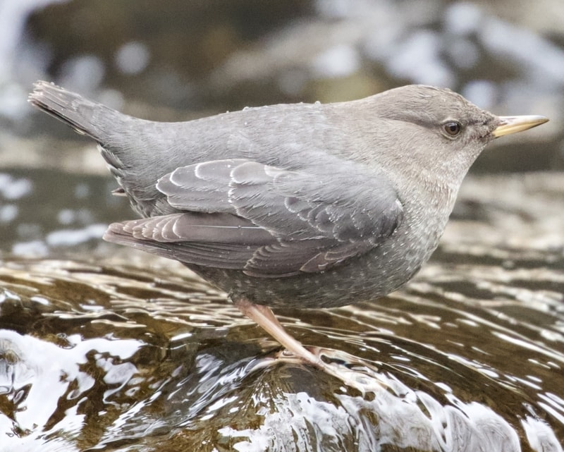 American Dipper northwest oregon columbia county