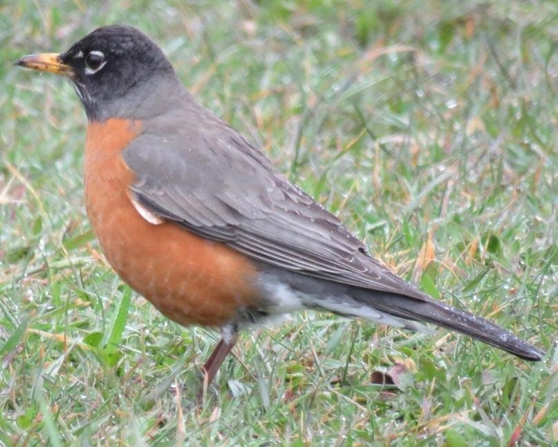 American Robin northwest oregon columbia county