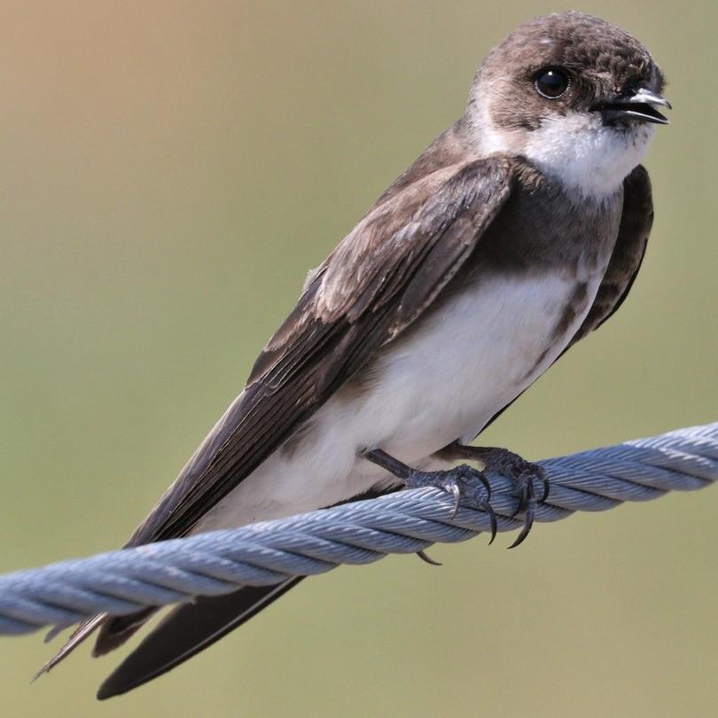 Bank Swallow northwest oregon columbia county