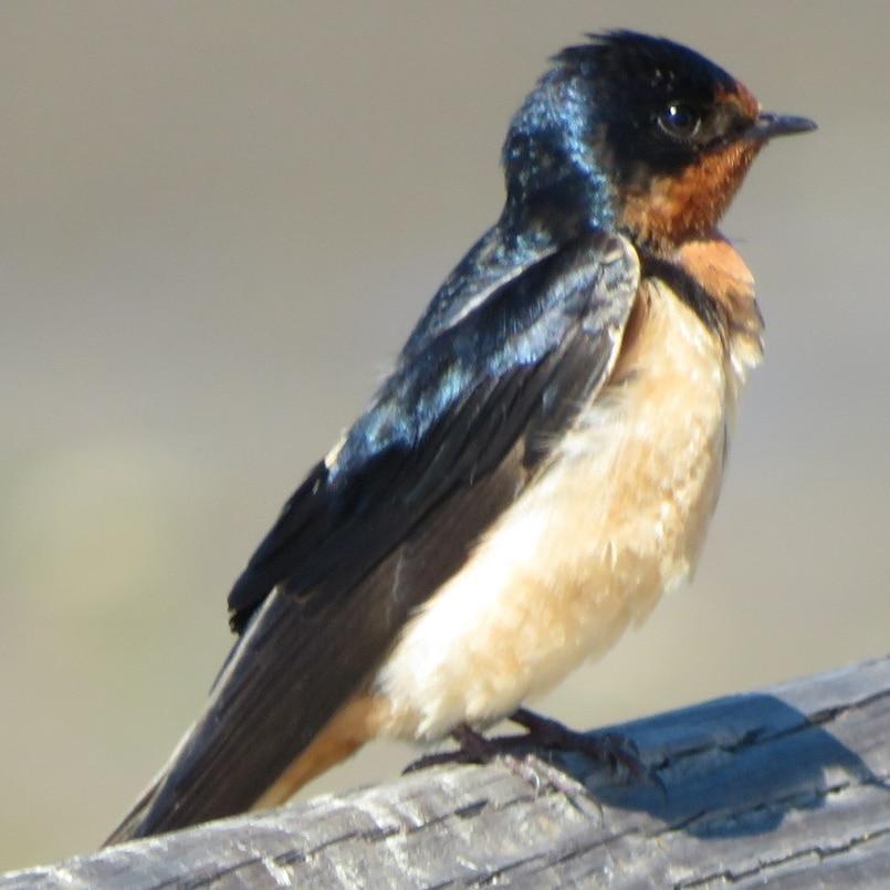 Barn Swallow northwest oregon columbia county