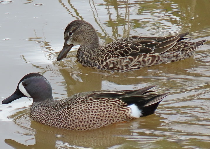 Blue-winged Teal oregon columbia county