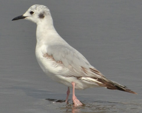 Bonaparte's Gull nonbreeding oregon columbia county