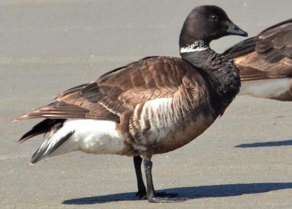 brant goose oregon coast columbia county