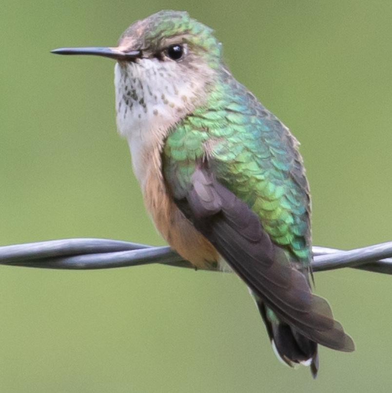calliope hummingbird female oregon columbia county