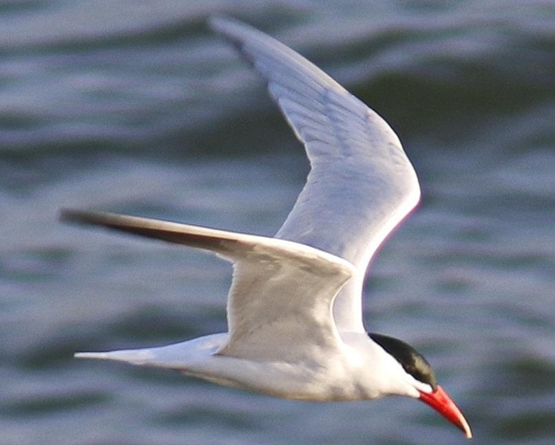 Caspian Tern oregon columbia county