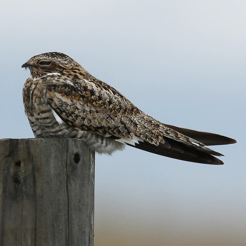 Common Nighthawk northwest oregon columbia county