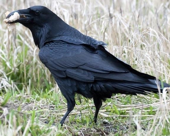 Common Raven oregon columbia county