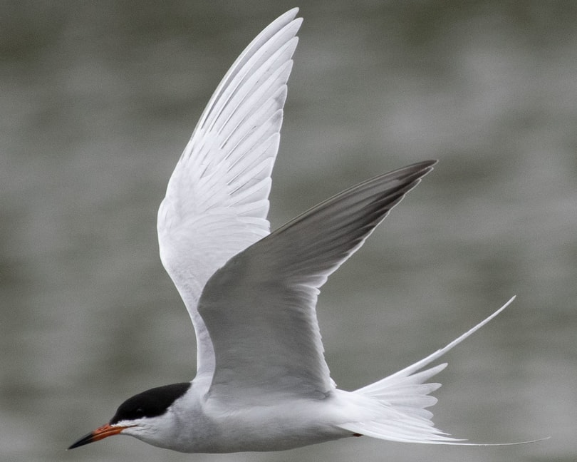 Common Tern oregon columbia county