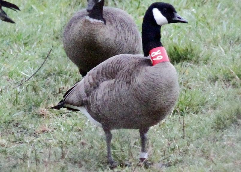 dusky canada goose oregon columbia county