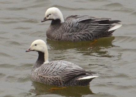 emperor goose oregon columbia county