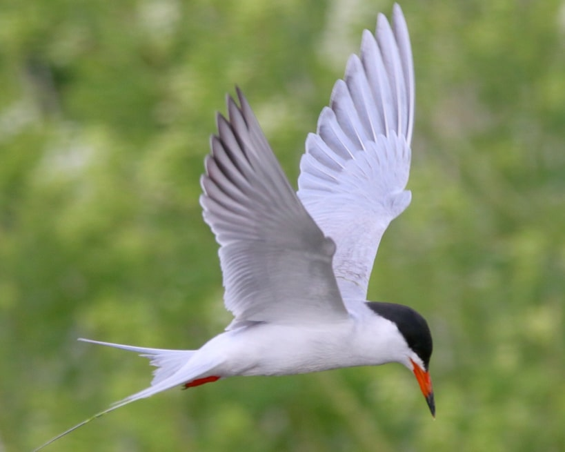 Forster's Tern oregon columbia county