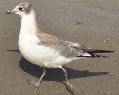 Franklin's Gull nonbreeding oregon columbia county
