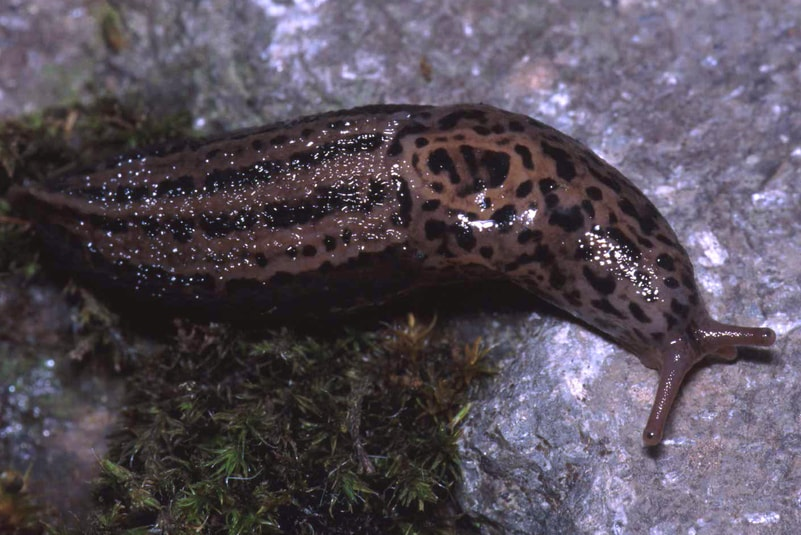 Giant Garden Slug leopard oregon columbia county