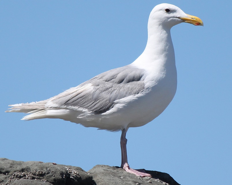 Glaucous-winged Gull oregon columbia county