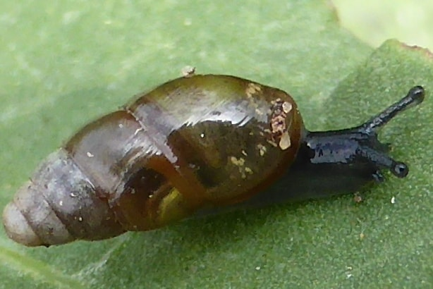 Glossy Pillar snail oregon columbia county