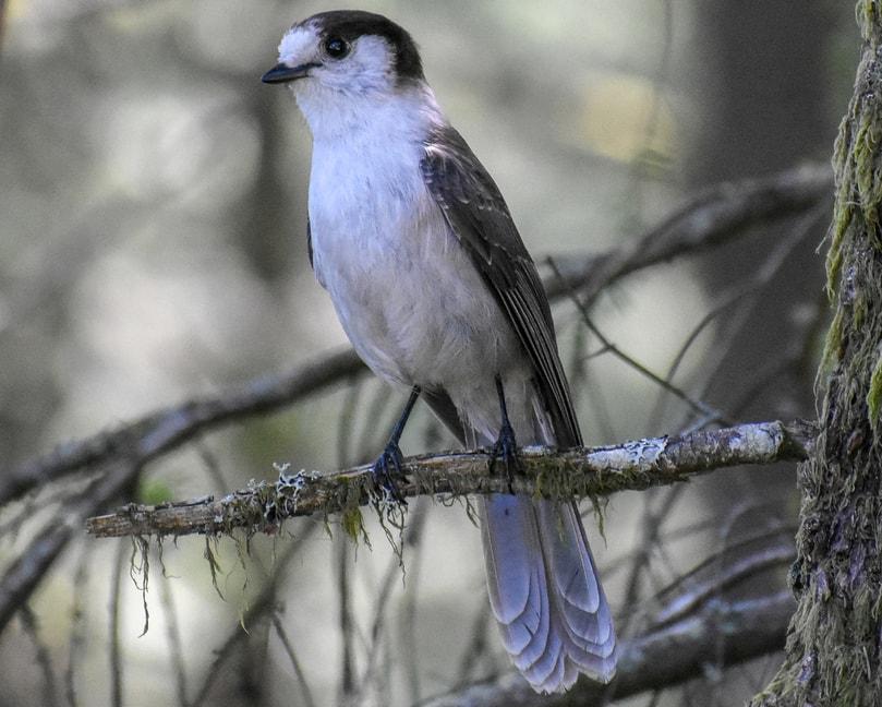 gray jay canada jay oregon columbia county