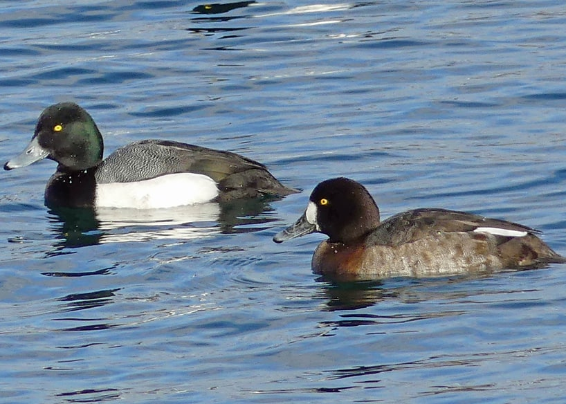 Greater Scaup oregon columbia county