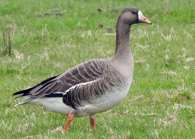 greater white-fronted goose oregon columbia county