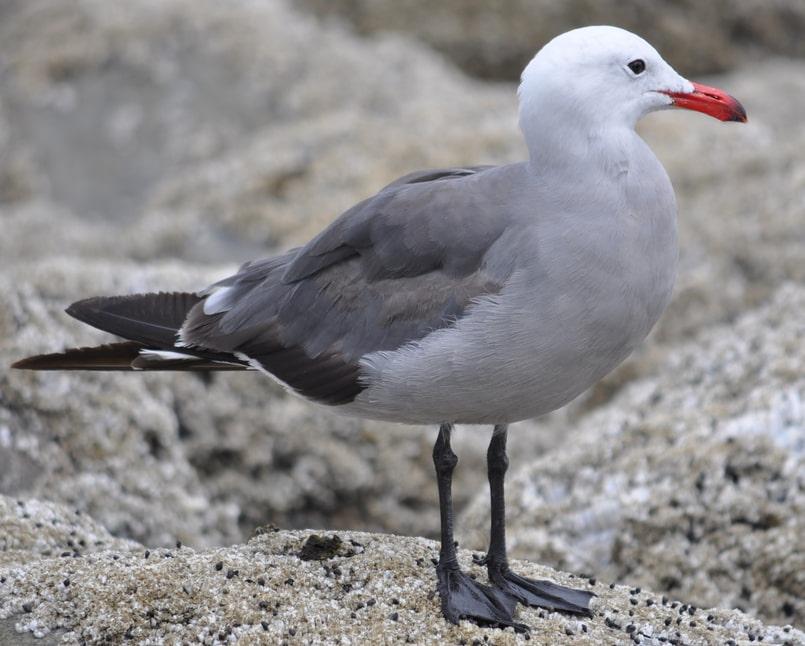 Heermann's Gull oregon columbia county