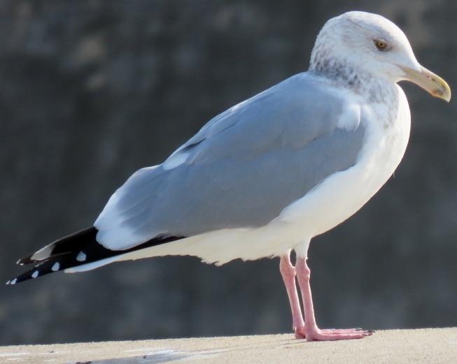 Herring Gull oregon columbia county
