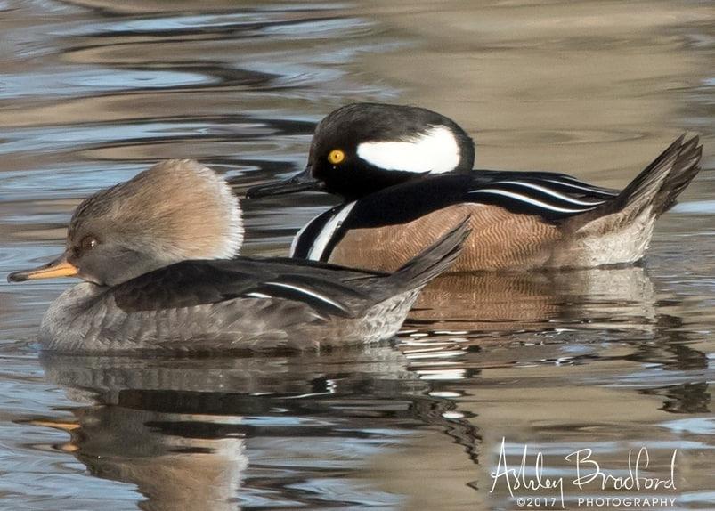 hooded merganser duck oregon columbia county