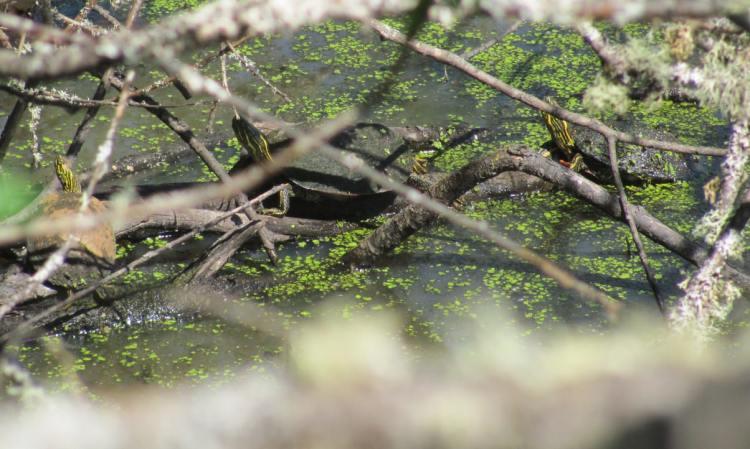 painted turtles crown z trail cz chapman landing scappoose oregon