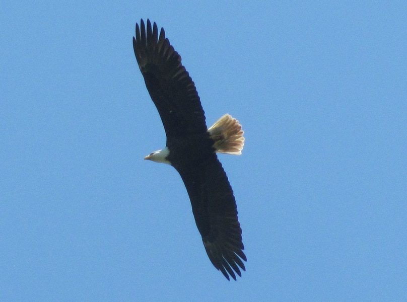 bald eagle crown z trail cz chapman landing scappoose oregon