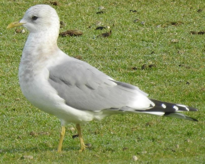 Mew Gull nonbreeding oregon columbia county
