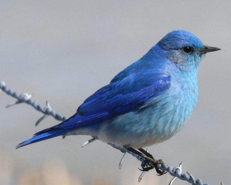mountain bluebird northwest oregon columbia county