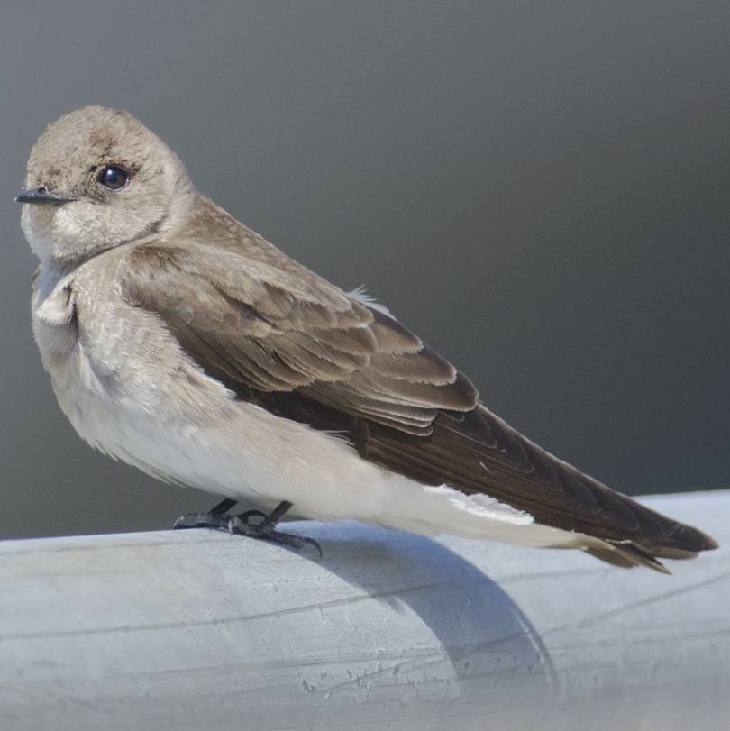 Northern Rough-winged Swallow columbia county northwest oregon