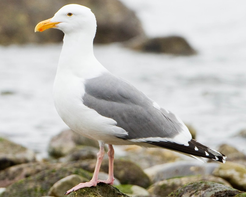 Western gull oregon columbia county