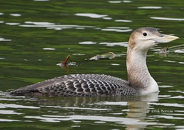 yellow-billed loon jwinter oregon columbia county