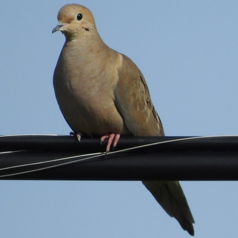 mourning dove oregon columbia county