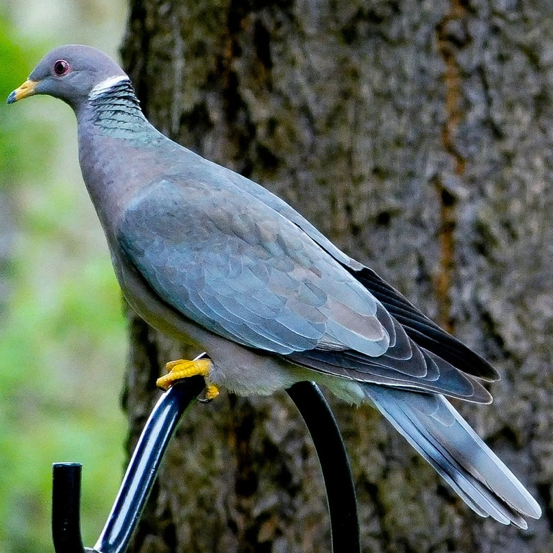 band-tailed pigeon oregon columbia county