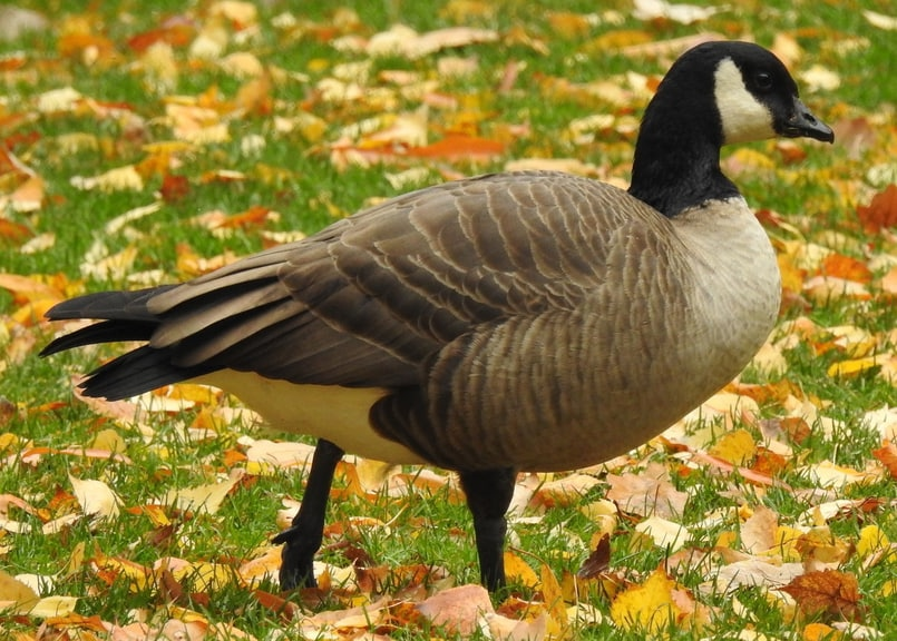 cackling goose oregon columbia county