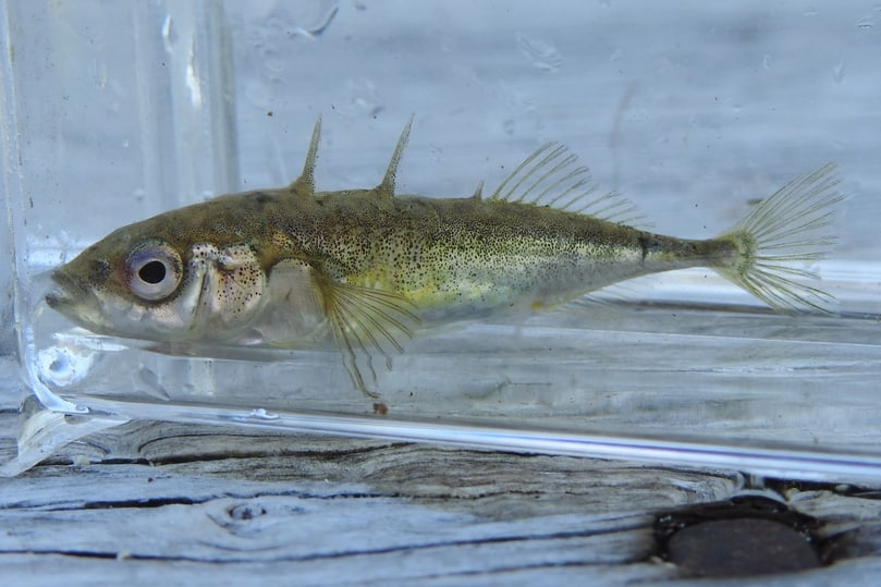 threespine stickleback northwest oregon columbia county