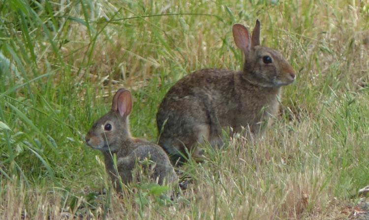 brush rabbits crown z trail cz chapman landing scappoose oregon