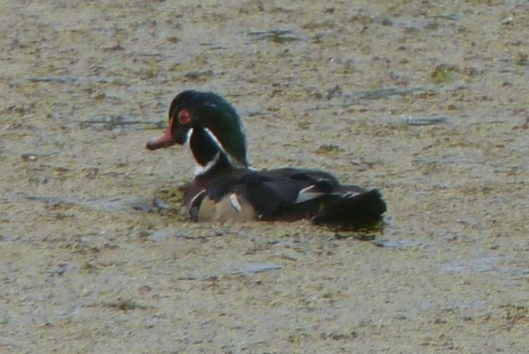 wood duck crown z trail cz chapman landing scappoose oregon